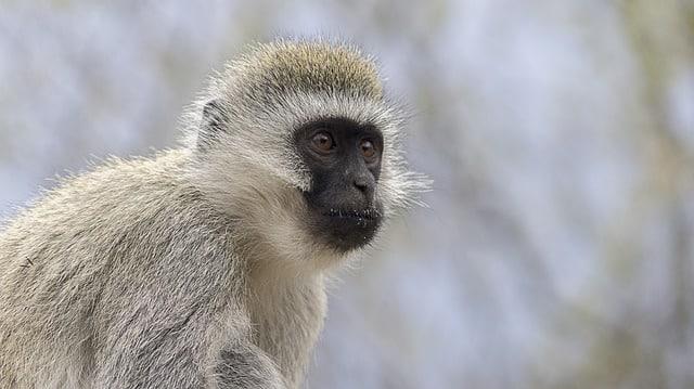 are vervet monkeys omnivores?