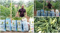 Graduate who went into farming breaks the internet with massive cucumbers he harvested