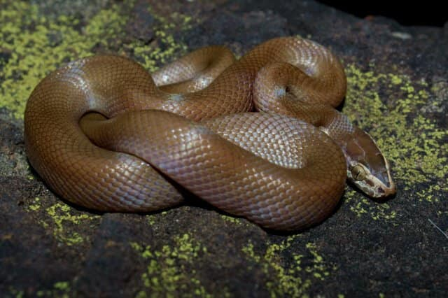Brown snake South Africa