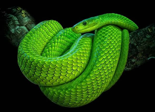 Green mamba facts