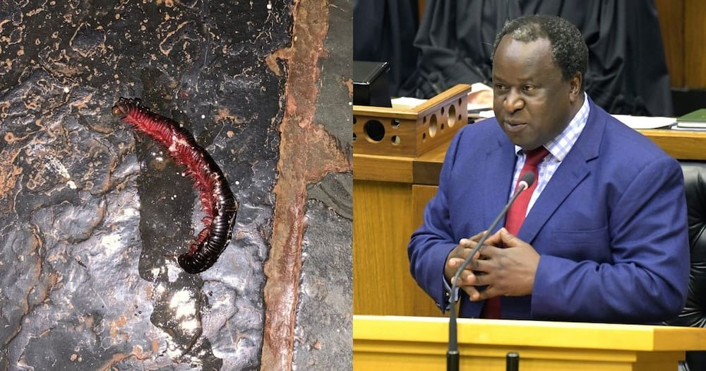 SA has a hilarious reaction to Mboweni stepping on an insect