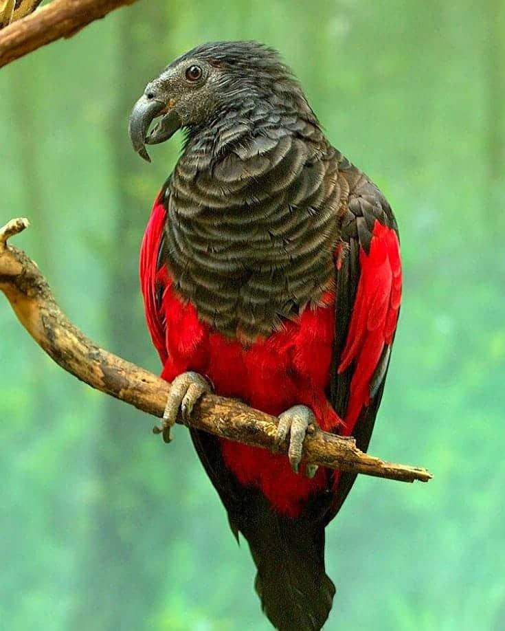 Dracula parrot for sale