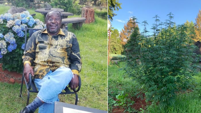 Mboweni gives dagga the green light: Will push for legislation