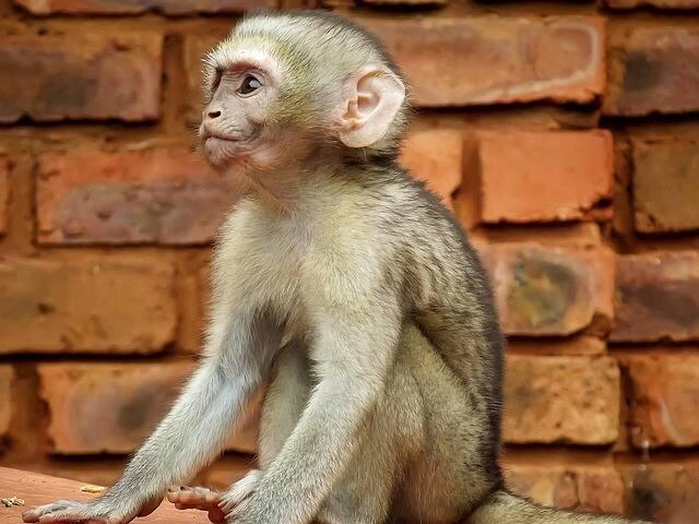 How many babies do vervet monkeys have?