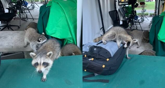 Revenge for 'Badgering' Trump: Racoons Attack Reporters at White House