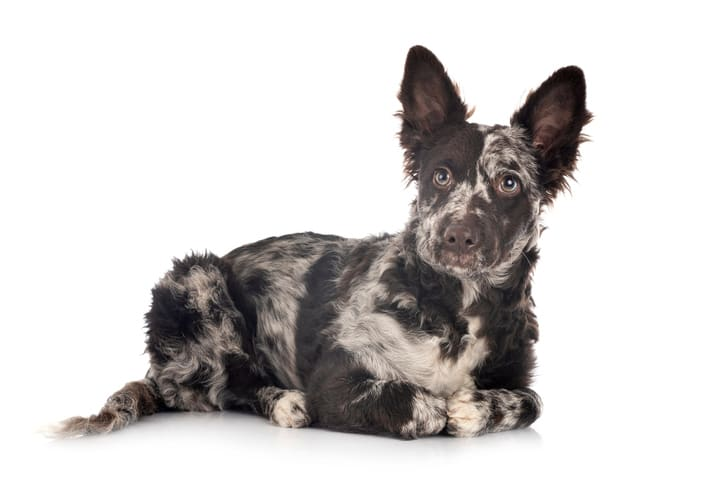 What is the most ugliest dog breed?