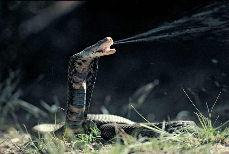 Poisonous snakes in South Africa