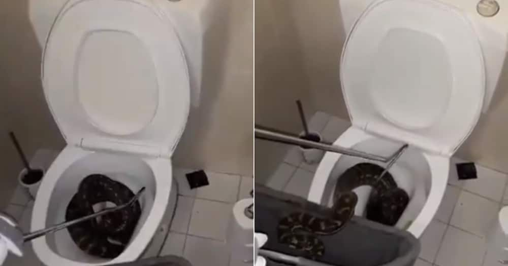 'Only in Australia': Video Shows 8-Foot Long Python Being Taken Out of Toilet