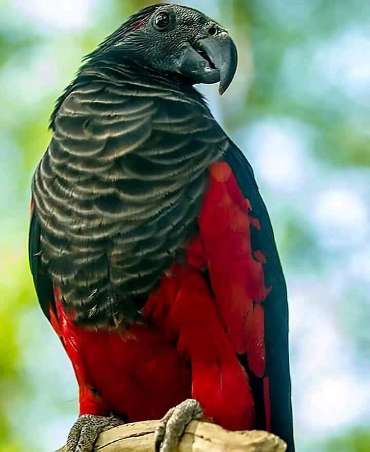 Dracula parrot flying