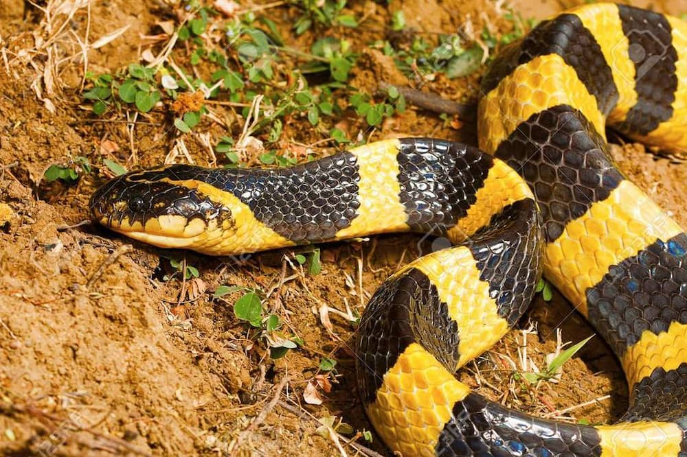 Most venomous snake in the world: Top 10 deadliest snakes
