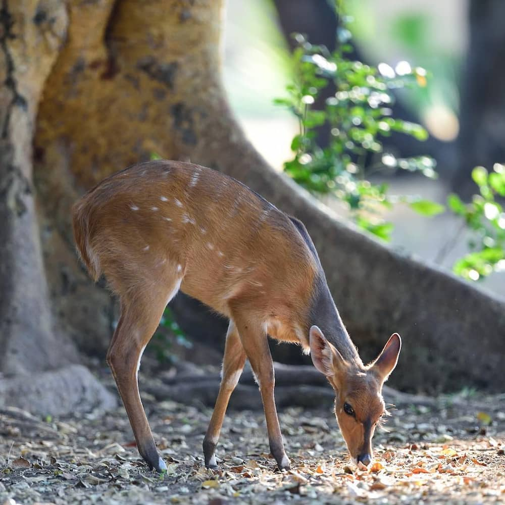 Everything you need to know about the Cape Bushbuck