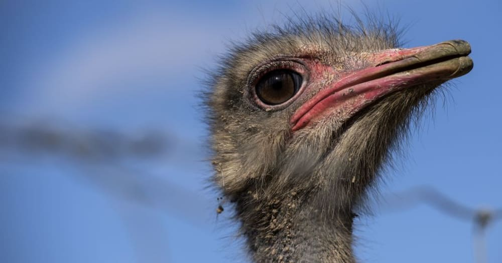 Australians Unimpressed As British Supermarkets Begin Selling SA Ostrich Meat