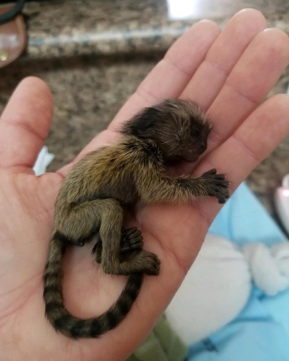 monkey in Afrikaans