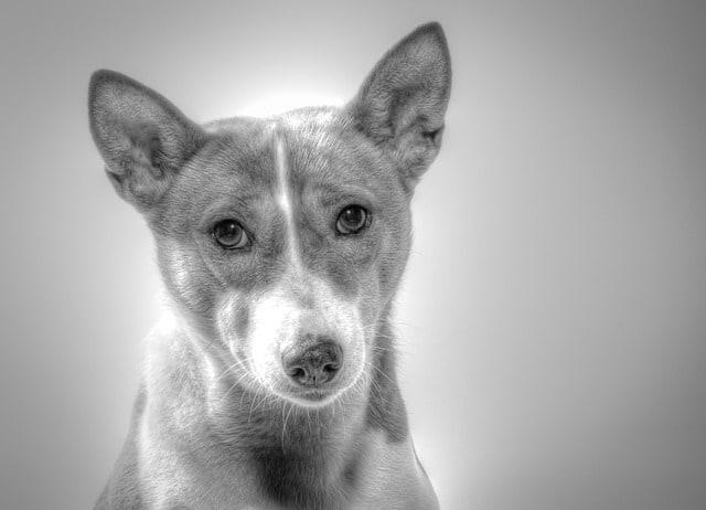 rarest dog breeds on earth