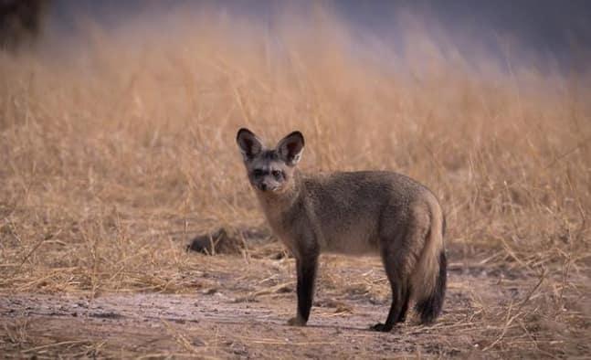 Bat eared fox fun facts