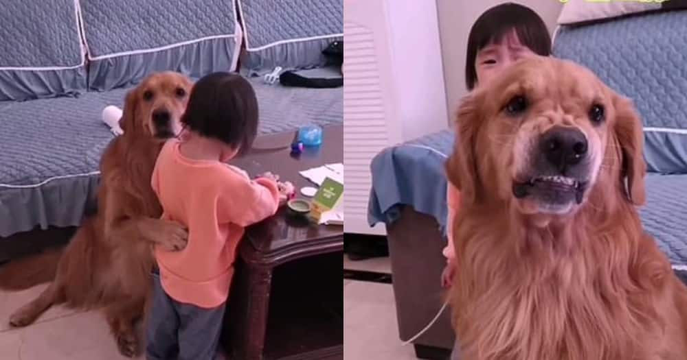 Dog protects little girl being reprimanded by mother