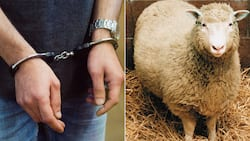 Western Cape police arrest 15 people for possession of stolen sheep livers