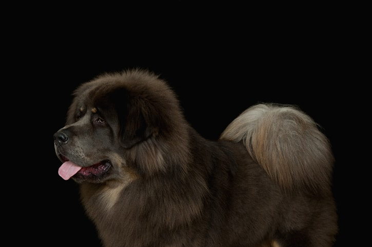 What is the most expensive dog breeds 2020?
