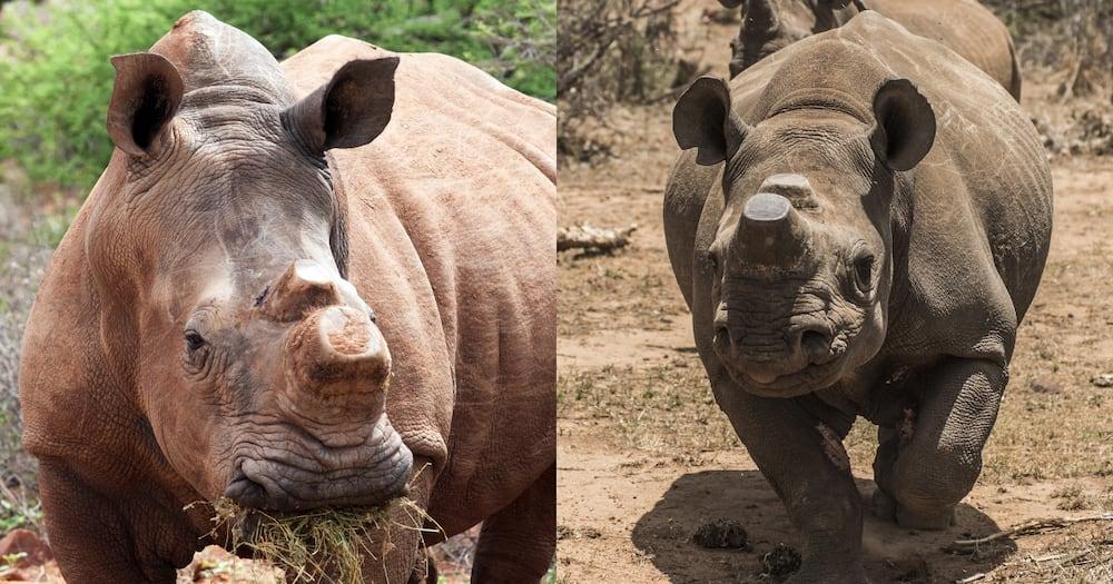 Crime, Hawks, Rhino Poaching