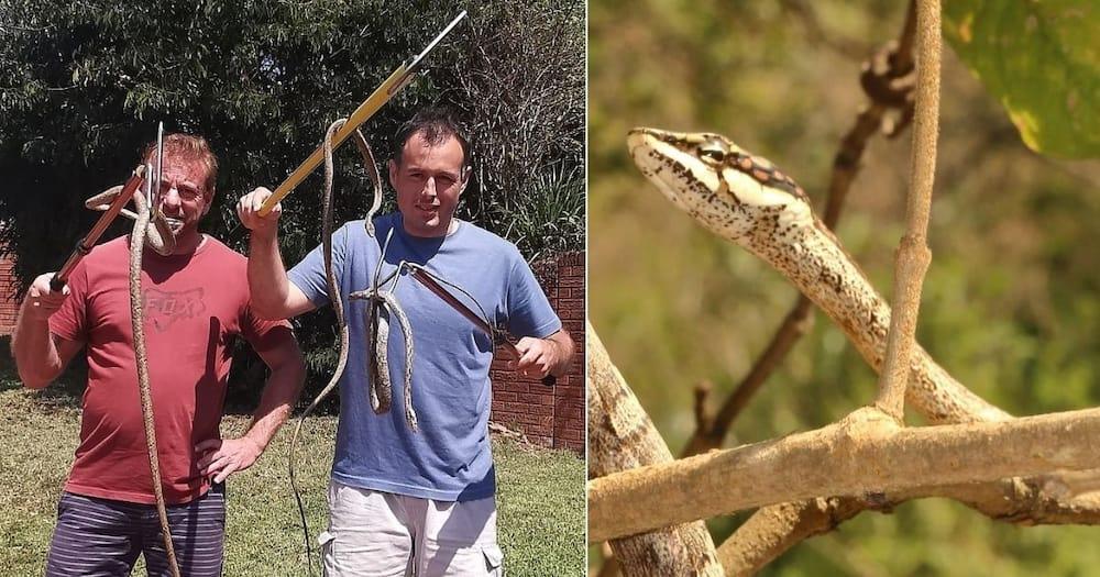 snake, snake catcher, vine snake, durban, nick evans