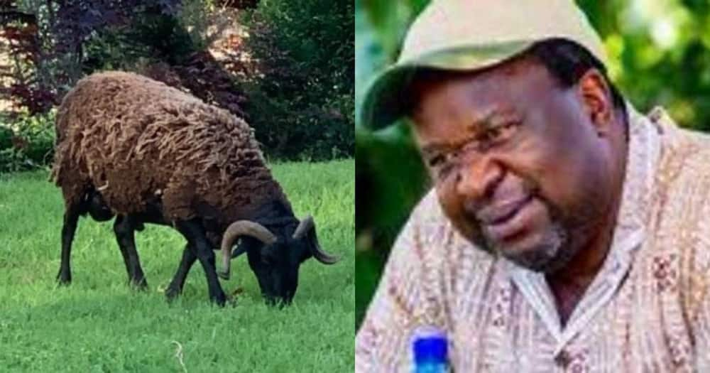 """Mboweni shows off his 'boss' sheep, SA reacts: """"Cooked with garlic"""""""
