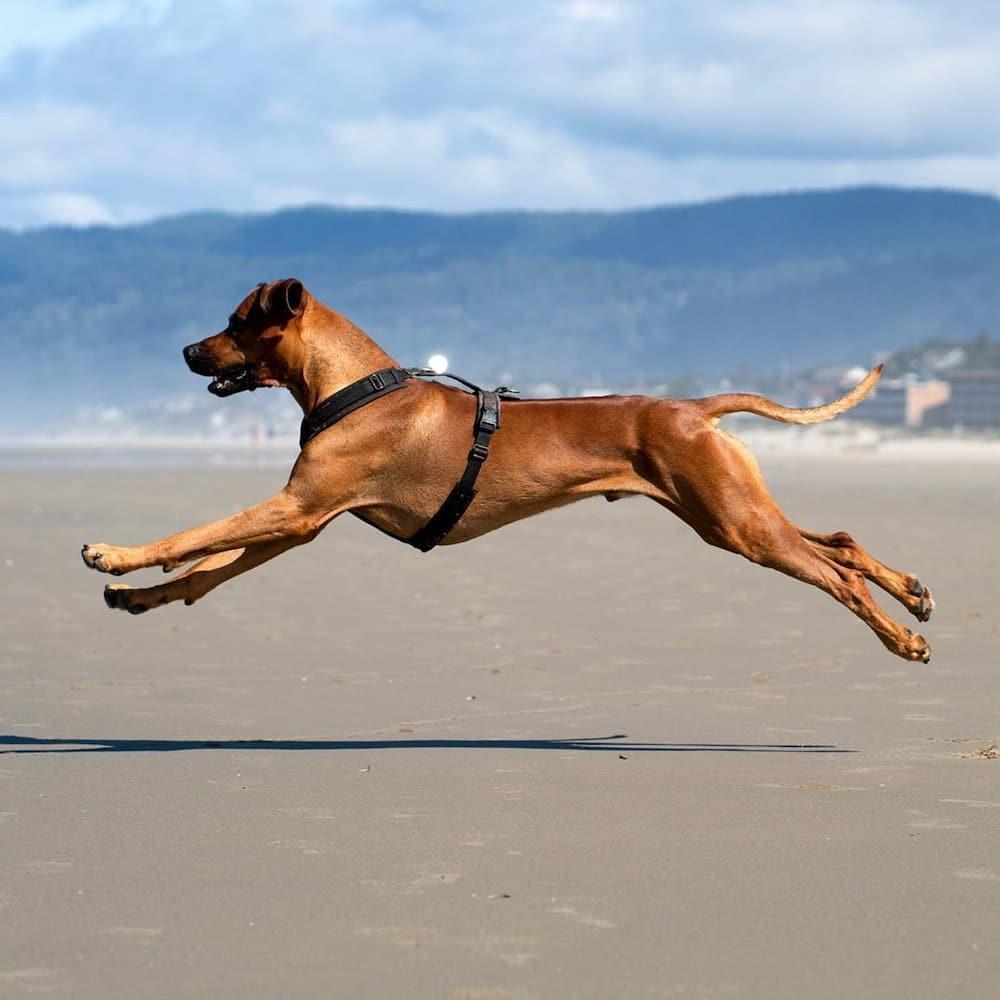 12 Best African dog breeds pics and origin