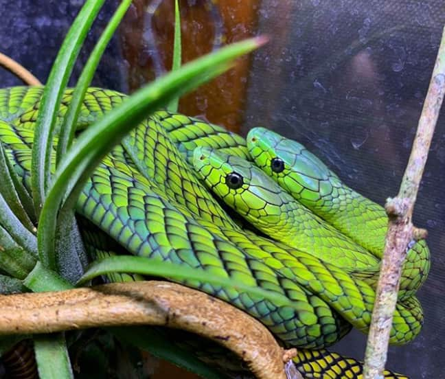 how to identify a green mamba