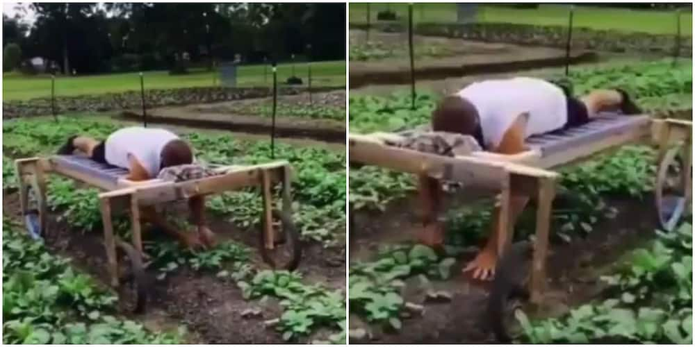 Man Lies Faced-down on Bed with Wheels to Plant Crops on Farm, Video Goes Viral and Stirs Mixed Reactions