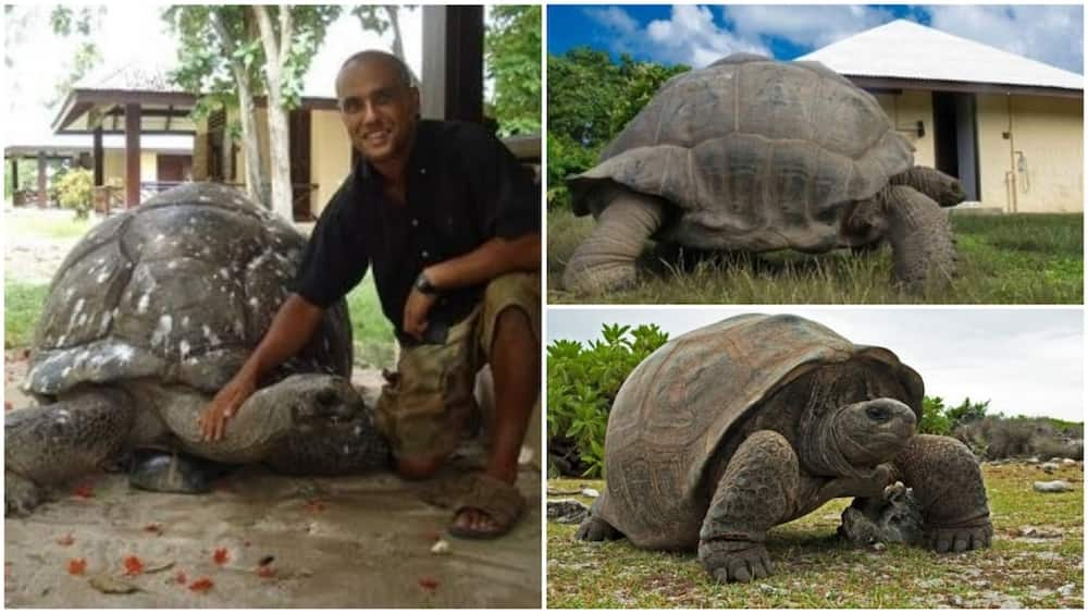 A collage of the tortoise in Bird Island. Photo source: Twitter/Africa Facts Zone