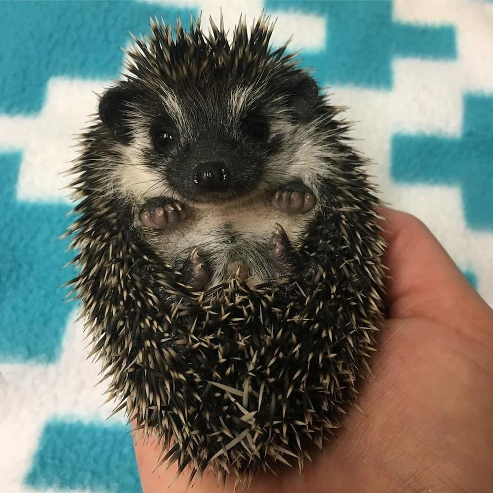 hedgehogs for sale in Gauteng