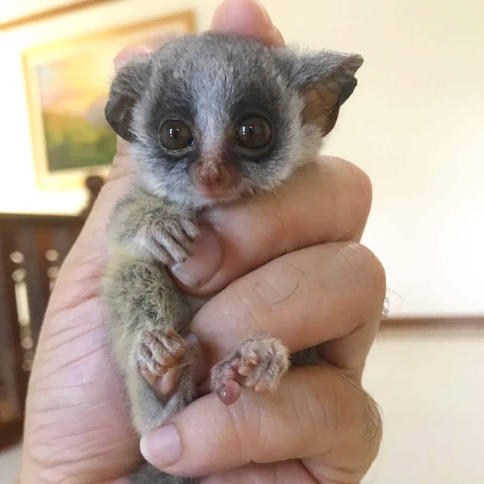 bush baby for sell near me