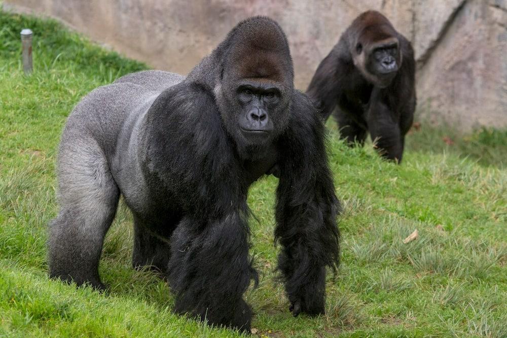 Karen: Popular ape receives coronavirus vaccine in US zoo