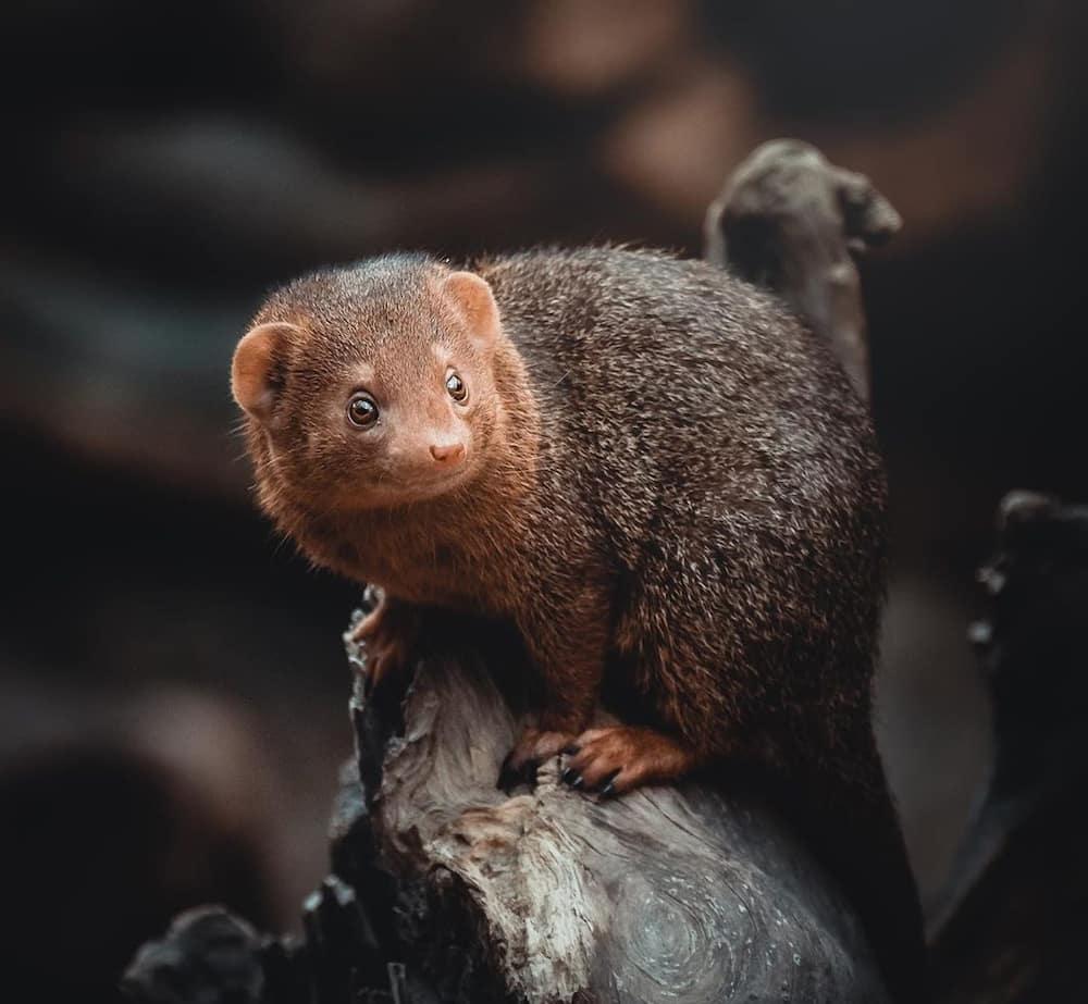 dwarf mongoose facts