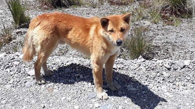 Rare 'singing' dog thought to be extinct, rediscovered after 50 years