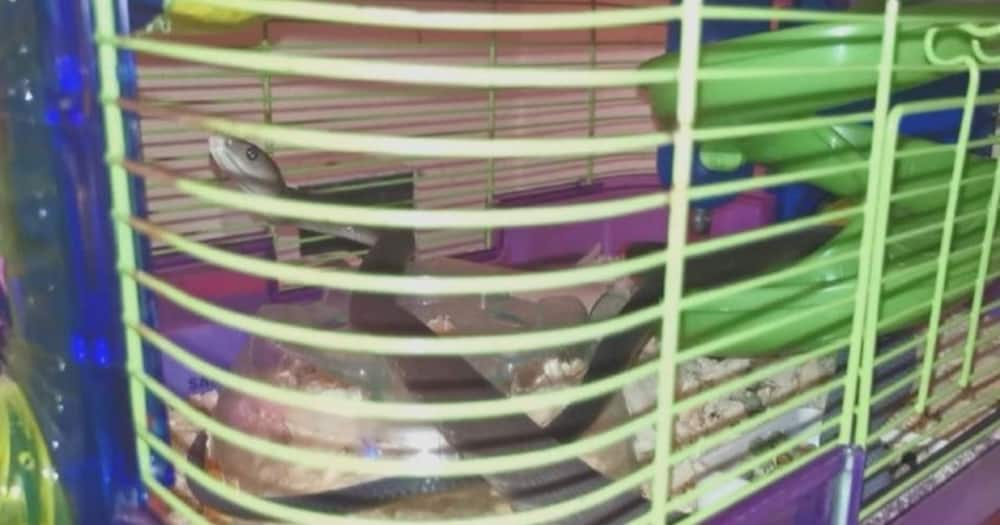 Boy goes to check on sister's hamster finds black mamba in cage