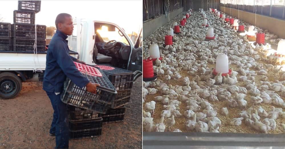 Woman, farmer, chickens, flock, amazing, inspirational, social media reactions
