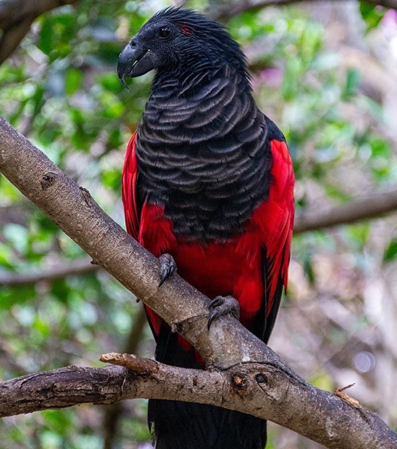 Dracula parrot wingspan